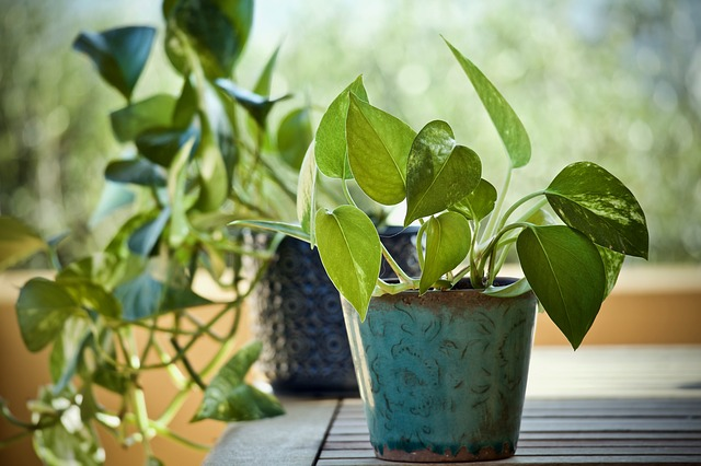 How to take care of Money Plant?